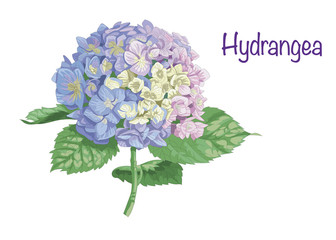 Vector highly detailed realistic illustration of hydrangea flower isolated on white. Good for wedding floral design, greeting cards.