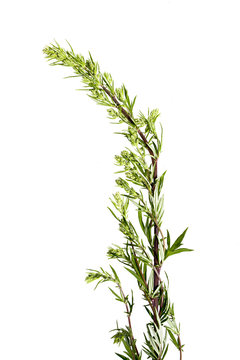 Artemisia vulgaris common weed - isolated on a white background