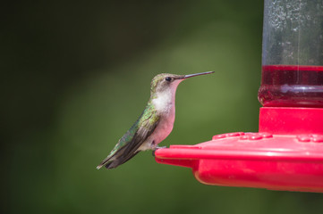 A hummingbird looks quite handsome at the feeder with a nice bokeh background in Missouri.