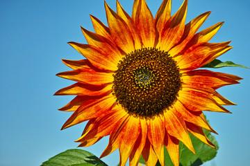 Orangefärbige Sonnenblume
