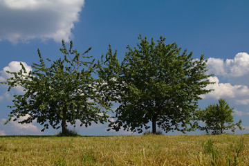 Green treens in front of a blue sky with white clouds
