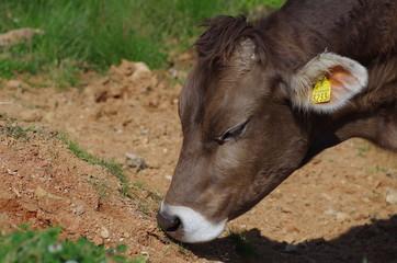 食事中の牛