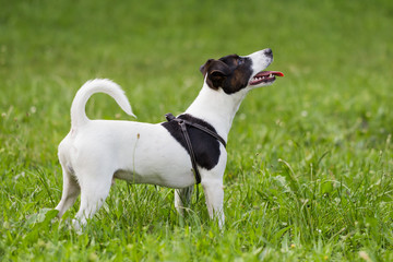 Cute dog Jack Russell Terrier standing in the nature.
