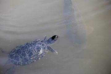 少しだけ水面から顔を出して泳ぐ亀(兵庫県)
