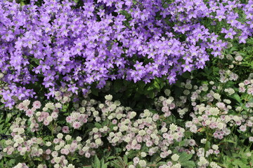 Close up of lilac and white flowers in flower bed