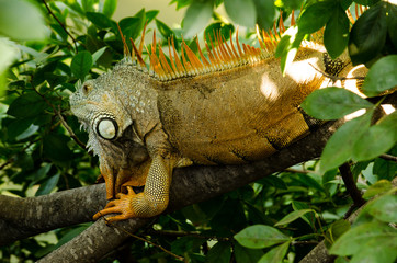 Iguana resting in the shadows on a tree branch