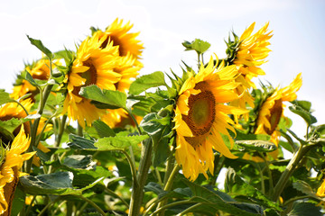 sunflowers overexposed expressions in the summer sun, Blossoming sunflower field in july in bavaria