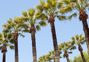 Palm trees in row on the beautiful blue sky background.