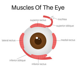 Muscles Of The Eye