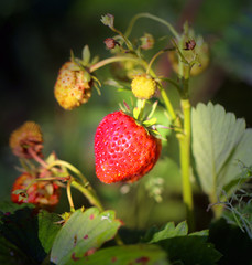 Photo of a close-up of a bright ripe strawberry