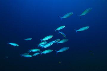 Fototapete - Sardines fish underwater