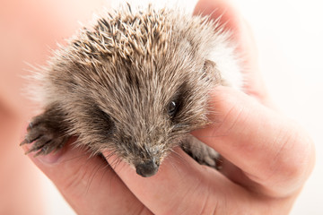 Elderly male veterinarian examines newly born hedgehog. Hands with mammal. close-up. Concept of healthy lifestyle in nature, the love of peace, respect for nature, motherhood in the countryside