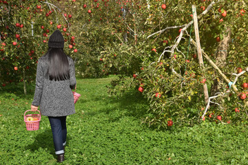Havesting in Fall Season Concept. Back side of Farmer Woman with Basket walking into the Apple Orchard for Picking Fruits