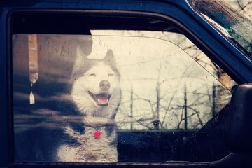 Husky dog sits in a loaded car for traveling in the rain and looks at us through the glass