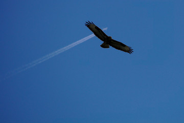 Buzzard flying with an airplane in the background in front of a blue sky