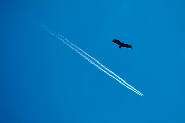 Buzzard and airplane in front of a clear blue summer sky
