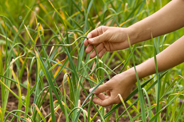 hands picking garlic scape