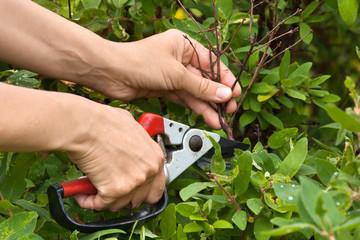 hands pruning honeysuckle with secateurs