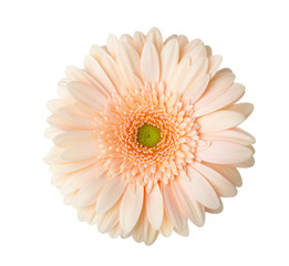 Papiers peints Gerbera Gerbera flower of apricot color isolated on white background.
