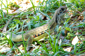 Ground lizards a reptile. It is eat insects as food. It is like my pet. It's like running in the front yard.