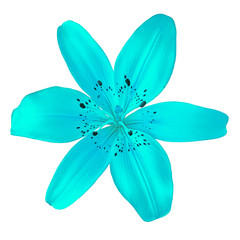 flower cyan  lily isolated on white background. Close-up. Element of design.