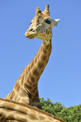 Portrait of giraffe (Giraffa camelopardalis) on blue sky background