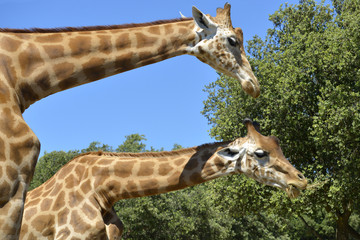 Closeup two giraffes (Giraffa camelopardalis) eating seen from profile