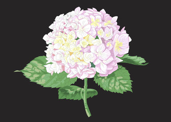 Vector highly detailed realistic illustration of hydrangea flower isolated on black. Good for wedding floral design, greeting cards.
