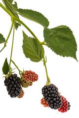 Berries of blackberry, lat. Rubus fruticosus, isolated on white background