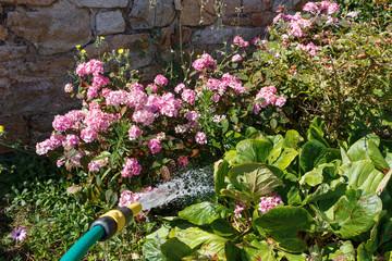 Arroser des plantes avec un tuyau d'arrosage