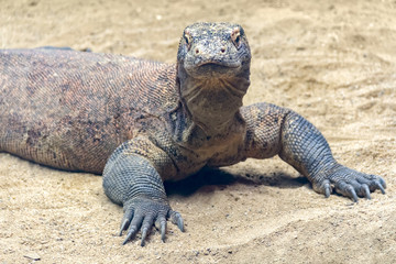 Komodo dragon in sandy ambiance