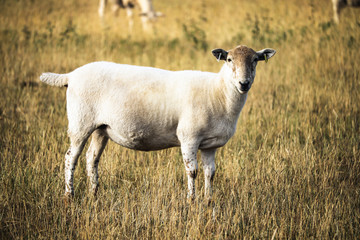 Sheep in grassy field