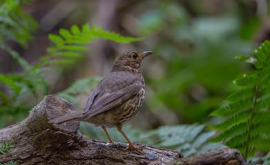 Song thrush bird