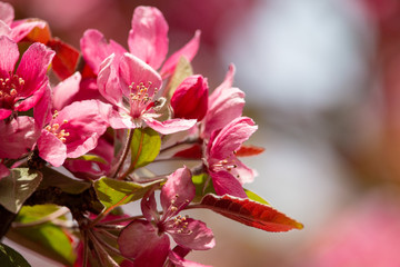 Blossoming apple tree. Saturated pink flowers and green leaves with blurred light background. Sweet fragrance of spring.