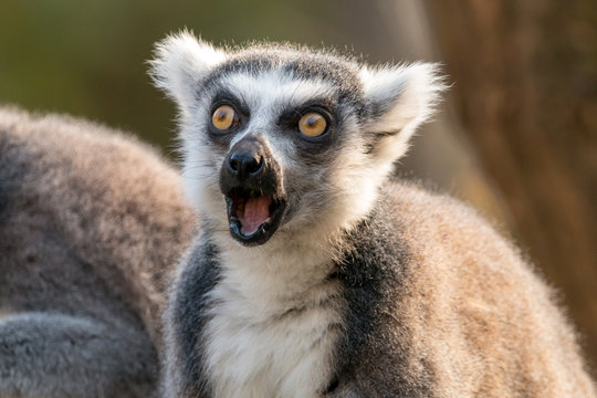 Surprised ring-tailed lemur or lemur catta with open mouth and eyes wide open.