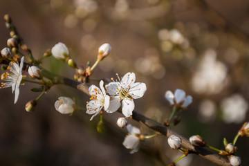 Süßer Apelblüten
