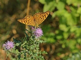 Weiblicher Kaisermantel (Argynnis paphia) auf Acker-Kratzdistel