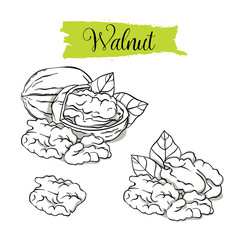 Hand drawn sketch style walnut set. Single, group seeds, walnut in nutshells group. Organic nut, vector doodle illustrations collection isolated on white background.