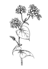 Drawing of common buckwheat - hand sketch of cultivated crops plant, honey flower fagopyrum esculentum