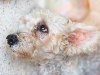 Closeup adorable poodle dog head.