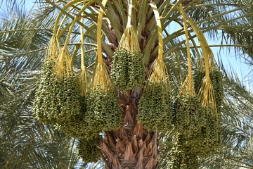 Green dates in a date palm orchard