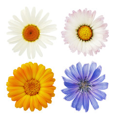 Wild chamomile flowers, marigold and chicory are photographed close-up with a top view and isolated on a white background