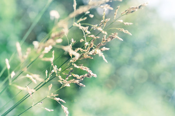 Dry grass in windy meadow, sunny green and blue faded tones, beautiful abstract nature background, close-up with bokeh and soft focus.