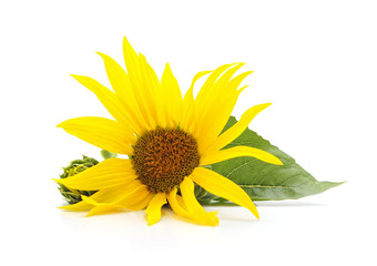 Sunflower flower with leaves.