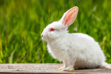 beautiful cute white rabbit on natural green background