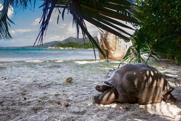 Aldabra-Riesenschildkröte (Aldabrachelys gigantea) auf dem Strand auf Courieuse, Seychellen.