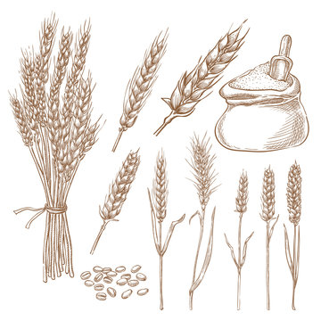 Wheat cereal spikelets, grain and flour bag vector sketch illustration. Hand drawn isolated bakery design elements