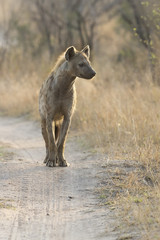 Lone Hyena walking along dirt road scavenging for food