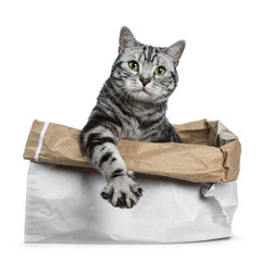 Cute black silver tabby British Shorthair sitting in rolled down paper bag looking over edge straight in camera, isolated on white background with paw stretched over edge