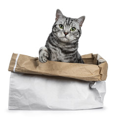 Cute black silver tabby British Shorthair sitting in rolled down paper bag looking over edge straight in camera, isolated on white background with paw lifted over edge